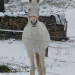 8335-winter-schnee-impressionen-3-pferd-schimmel