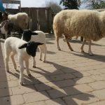 Schwarz-weißer Nachwuchs im Zoo HD: </br>Junge Rhönschafe im Streichelzoo