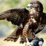 Helm auf im Nußlocher Gemeindewald: </br>Bussard-Elternvögel greifen Spaziergänger an