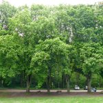 Glückliche Leimener Kastanienbäume: Miniermotten gehen massenhaft in die Fallen