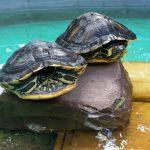 Tom-Tatze-Tierheim: </br>Wasserschildkröten suchen neues Zuhause