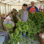 Grünes Gold von Hand ernten – Traditionelle Hopfenernte und Hopfenfest in Sandhausen