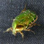 Attacke! Grüner Käfer attackiert rasenden Reporter während des Rasens