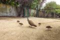 Blaue Pfauen im Zoo haben Verstärkung bekommen
