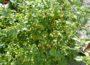 Die teuerste Chili der Welt in Nußlochs schärfstem Eck: Aji Charapita für 25.000 €/kg