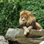Die Bagger können kommen - Spatenstich für die neue Löwenanlage im Zoo Heidelberg