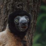 Neue Freunde im Zoo: </br>Sifaka Daholo freundet sich mit den Kattas an