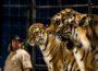 Circus Manuel Weisheit gastiert in Leimen: Programm mit Artistik, Ponys und sib. Tigern