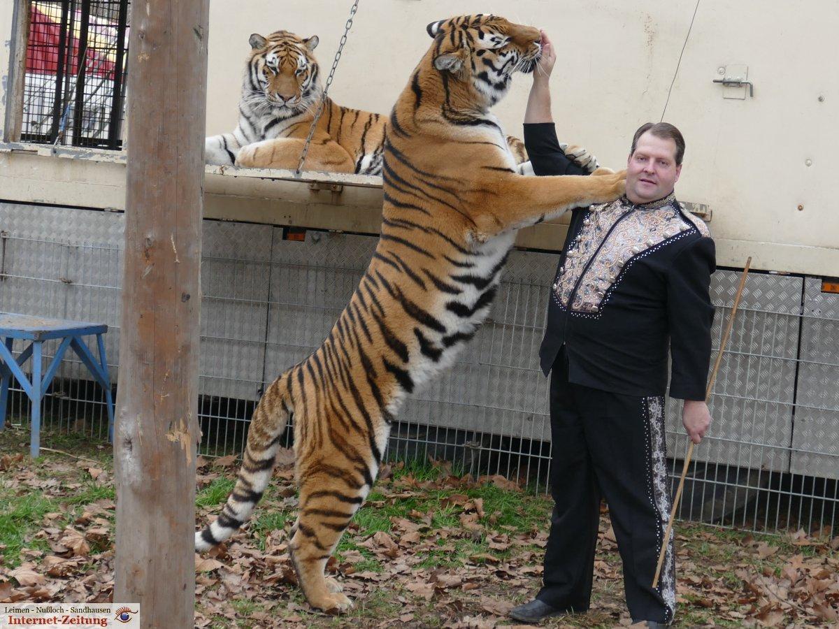 sibirische tiger im circus weisheit trainer prehn fressen sie sogar aus der hand leimen lokal. Black Bedroom Furniture Sets. Home Design Ideas