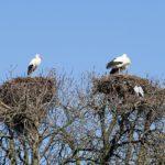 Vorboten des Frühlings gesichtet: </br>Erste Weißstörche im Zoo angekommen