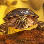Teichbesitzer aufgepasst - Wasserschildkröte such neue Heimat