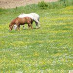 """Mehrere Pferdeschändungen in der Region - Ermittlungsgruppe """"Koppel"""" eingerichtet"""