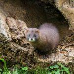 Zoo guter Hoffnung beim stark bedrohten Europäischen Nerz
