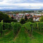 "Prognose des Weingutes Adam Müller: </br>""2018 – Ein großer Jahrgang ist in Sicht"""