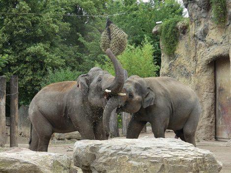 Vorbildliche Elefantenanlage: Zoo Heidelberg mit BdZ-Biber ausgezeichnet