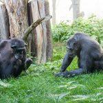 Welt-Schimpansentag am 14. Juli - Spannende Infoaktion im Zoo Heidelberg