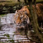 Thementag Tiger am Sonntag im Zoo Heidelberg