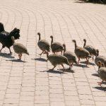 Erfolgreiche Adoption im Zoo: Ayam Cemani Hühner ziehen Perlhuhn-Küken groß