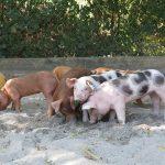 Schöne Sauerei im Zoo: Neun kleine Ferkel wühlen sich durch ihre Anlage