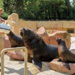 Auf ins große Außenbecken: Mähnenrobbe Pablo schwimmt jetzt mit den Erwachsenen