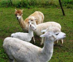 Ausflugstipps für die Sommerferien: Wandern mit Lamas und Alpakas
