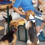 Ehemalige Versuchstiere in Freiheit: </br>Laborbeagle-Treffen im Tom-Tatze Tierheim