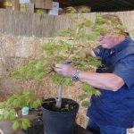 Spannende Vorführung: Wie aus einem jungen Baumschulenbaum ein kleiner Bonsai wird