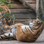 Rendezvous der Tiger im Zoo: Karis und Tebo auf dem Weg zum Traumpaar?