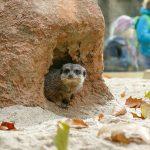Zoo HD: Erdmännchen und Stachelschweine beziehen neues Gehege