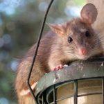 Vermehrtes Müllaufkommen lockt Ratten an - Stadt legt Giftköder aus