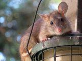 Vermehrtes Müllaufkommen lockt Ratten an – Stadt legt Giftköder aus