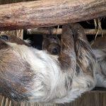 Abhängen mit Mama und Papa - Nachwuchs bei den Faultieren (im Zoo)