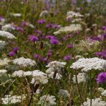 Blühenden Naturparks ziehen Bilanz: 500 neue insektenfreundliche Flächen geschaffen