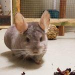 Partnersuche im Tom-Tatze-Tierheim - Chinchilla Bertolini jetzt ganz alleine