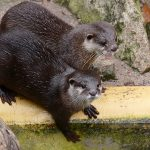 Verliebte Otter im Zoo Heidelberg - Ein Duo wie Bonnie und Clyde?