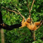 """Der Gibbon ist das """"Zootier des Jahres 2019"""""""