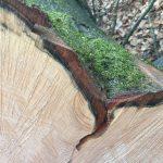 Kreisforstamt: Trockenschäden im Gemeindewald Nußloch – Fällung von Buchen