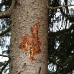 """Jetzt Fichtenwälder auf Borkenkäfer kontrollieren – Suche nach """"Überwinterern"""""""