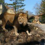Einzug der Könige in Heidelberg - </br>Löwenanlage im Zoo feierlich eröffnet