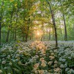 Bärlauch-Ernte im Nußlocher Gemeindewald - Vorsicht vor ähnlichen Giftpflanzen!