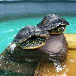 Wasserschildkröten aus dem Tom-Tatze-Tierheim suchen neue Heimat