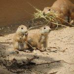 Nachwuchs bei den Präriehunden im Zoo - Sonne lockt Jungtiere aus dem Bau