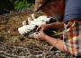 29 neue Ringträger im Zoo Heidelberg: Junge Weißstörche erhalten Erkennungsringe