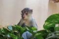 Die Mangaben kommen:Neue Affenart zieht in den Zoo Heidelberg ein