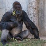 """""""Affentag"""" im Zoo: </br>Spannende Infos zu Gorilla & Co. am Sonntag"""