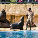 """Mähnenrobben im Zoo: """"Kano"""" lernt tauchen – """"Sneaky"""" wurde eingeschläfert"""