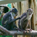 Die Mangaben sind da!  Dreiköpfige AffengGruppe fühlt sich im Zoo wohl