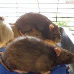 Animal Hoarding der schlimmsten Art: </br>Eine Wohnung mit Hunderten von Ratten