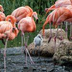 Pink wird flügge: Nachwuchs bei den Rosa Löfflern, Roten Sichlern und Kuba-Flamingos