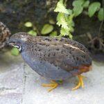 Zwergwachtel – der kleinste Hühnervogel der Welt im Tom-Tatze-Tierheim
